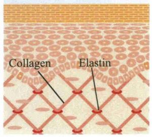 با افزايش سن، ذخيره کلاژن و الاستين پوست کاهش يافته