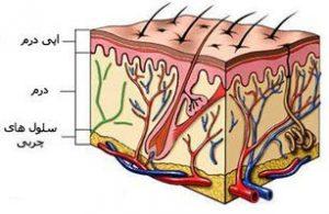 پوست ما دارای چندین لایه است که داخلیترین لایه آن درمیس نام دارد